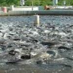 Catfish farming business in Nigeria